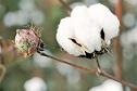 Leyenda corta del algodón